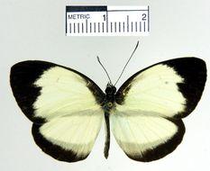 Image of <i>Itaballia pandosia sabata</i>