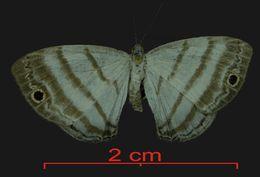 Image of <i>Leucochimona iphias</i> Stichel 1909