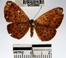 Image of <i>Metacharis victrix</i> Hewitson 1870