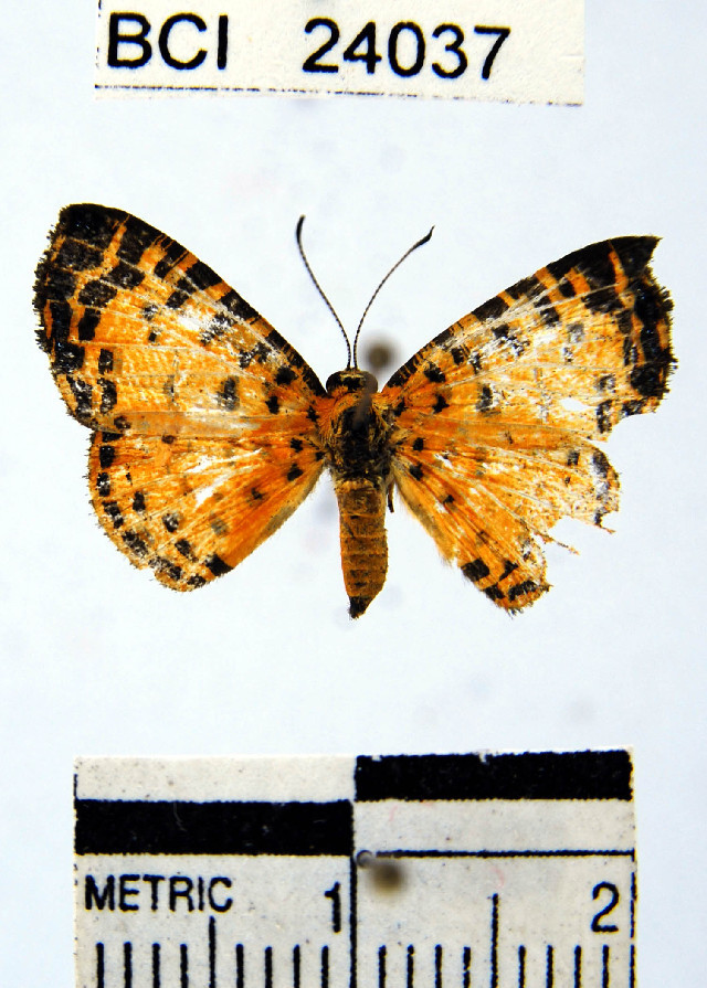 Image of <i>Argyrogrammana crocea</i> Godman & Salvin 1878