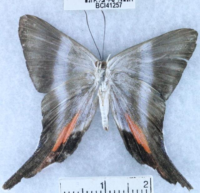 Image of <i>Rodinia calphurnia</i>