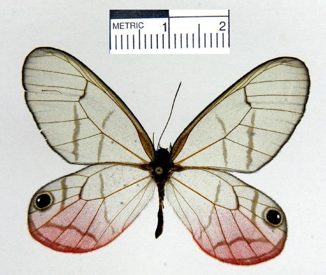 Image of <i>Cithaerias <i>pireta</i></i> ssp. pireta