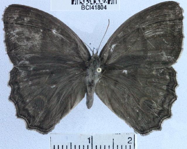 Image of <i>Magneuptychia libye</i> Linnaeus 1767