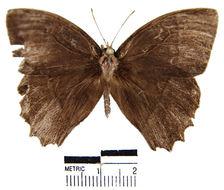 Image of <i>Taygetis leuctra</i> Butler 1870