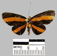 Image of <i>Mesenopsis melanochlora</i> Godman & Salvin 1878