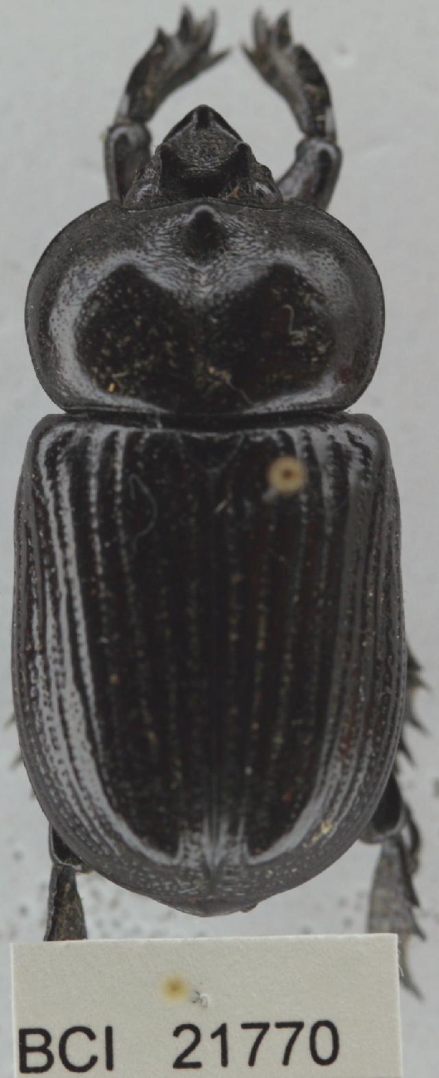 Image of Phileurus