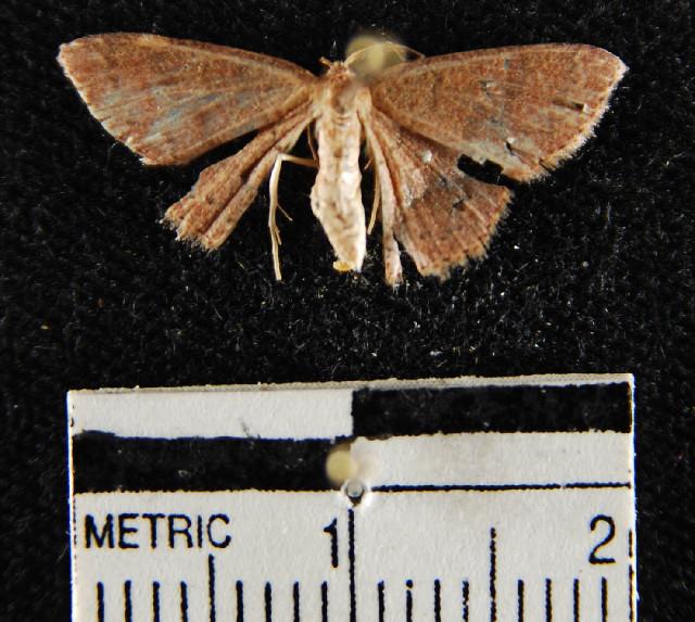 Image of <i>Pleuroprucha</i>