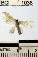 Image of <i>Dyspteris</i>