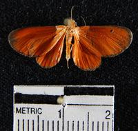 Image of <i>Eudulophasia invaria</i> Walker 1854