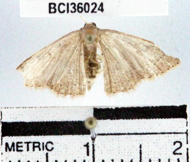 Image of <i>Pleuroprucha rudimentaria</i> Guenée 1858