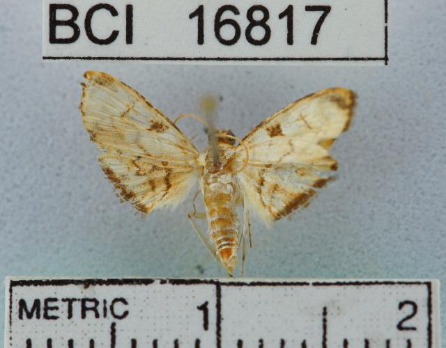 Image of Bocchoris
