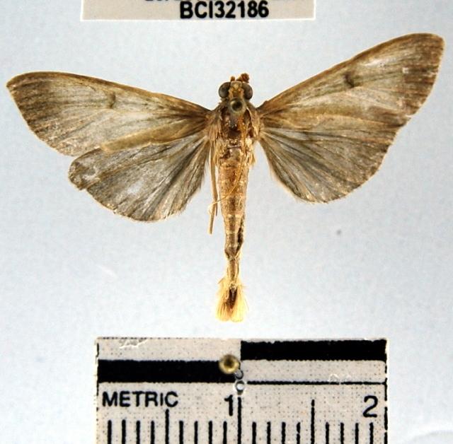 Image of Ceratocilia