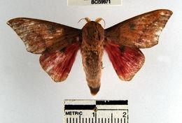 Image of <i>Adeloneivaia subangulata</i> (Herrich-Schäffer (1855))