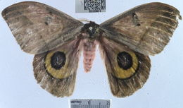 Image of Owl Moth