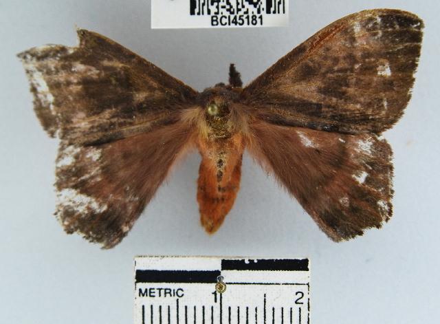Image of <i>Hylesia aeneides</i> (Druce 1897)