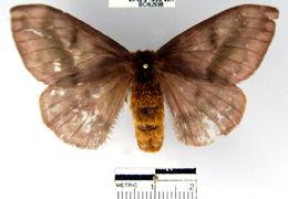 Image of <i>Hylesia umbrata</i> (Schaus 1911)