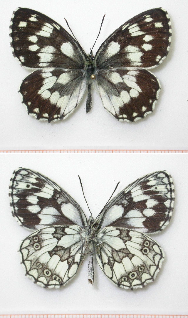 Image of marbled white
