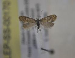 Image of <i>Taleporia defoliella</i> Constant 1895
