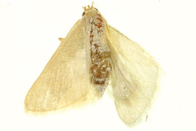 Image of Mixocera