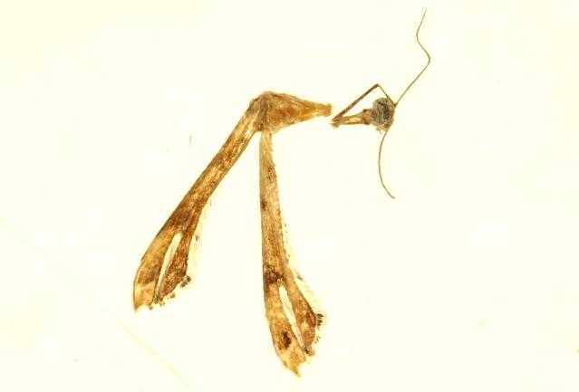 Image of <i>Stenoptilodes taprobanes</i> (Felder & Rogenhofer 1875)