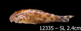 Image of Aspidoras