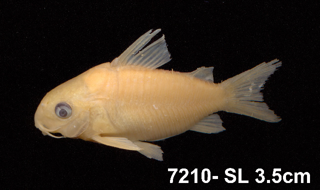 Image of Corydoras