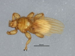 Image of Trichobius