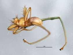 Image of Megistopoda