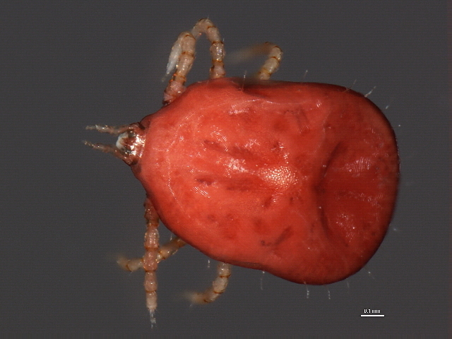 Image of Soft Ticks