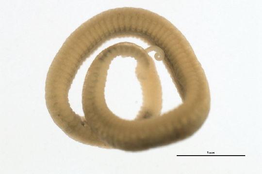 Image of <i>Saccocirrus</i>