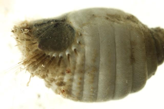 Image of <i>Sternaspis fossor</i> Stimpson 1854