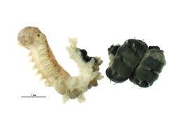Image of <i>Phyllochaetopterus prolifica</i> Potts 1914