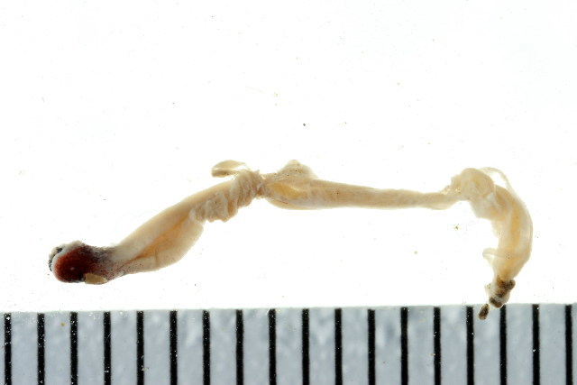 Image of compact wormsnail