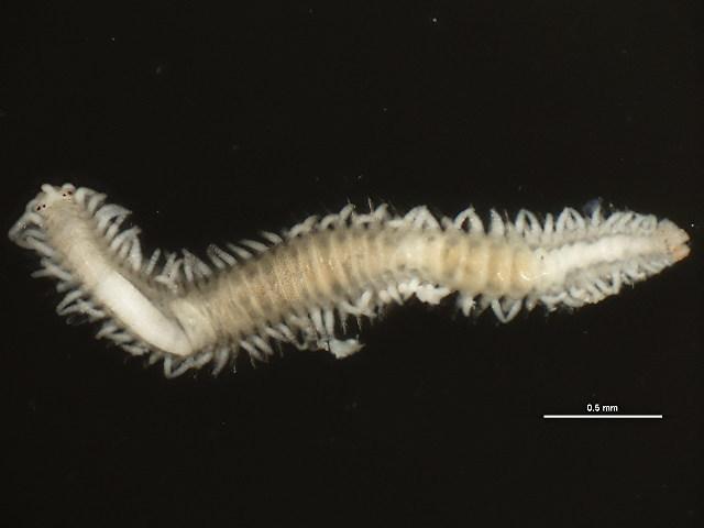 Image of Syllidae