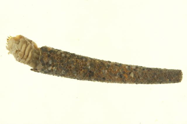Image of <i>Pectinaria granulata</i>