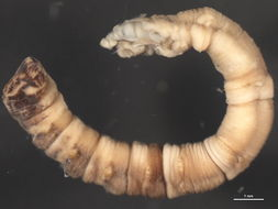 Image of bamboo worms