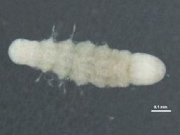Image of <i>Lumbrineris japonica</i> (Marenzeller 1879)