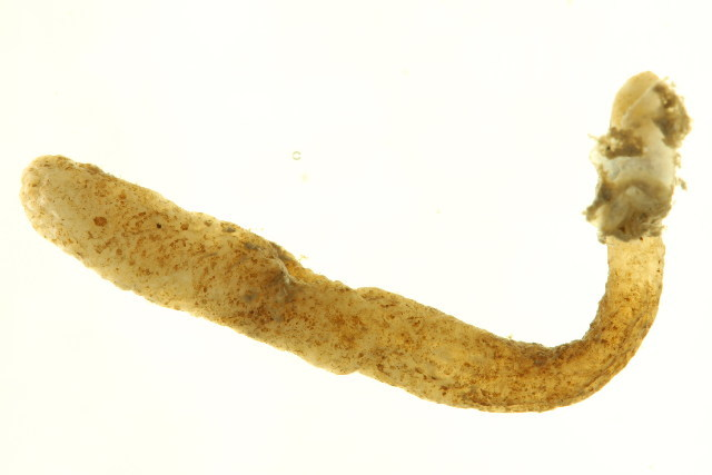 Image of <i>Alcyonidium</i>