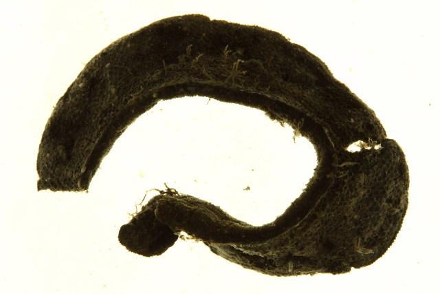 Image of Flustridae