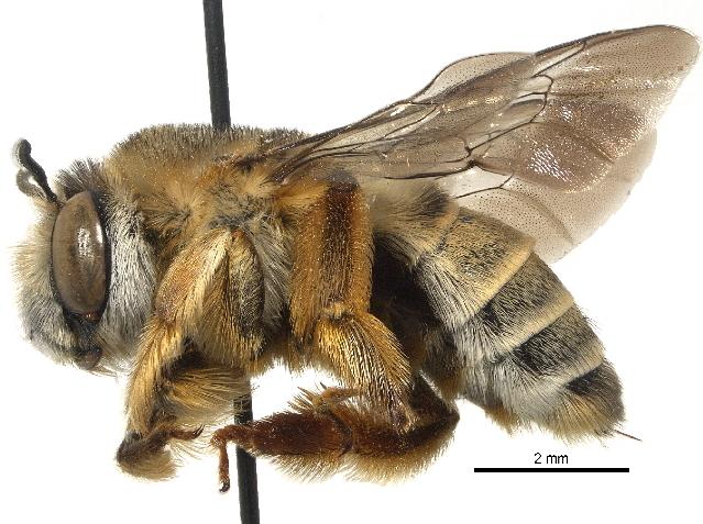 Image of Pachymelus