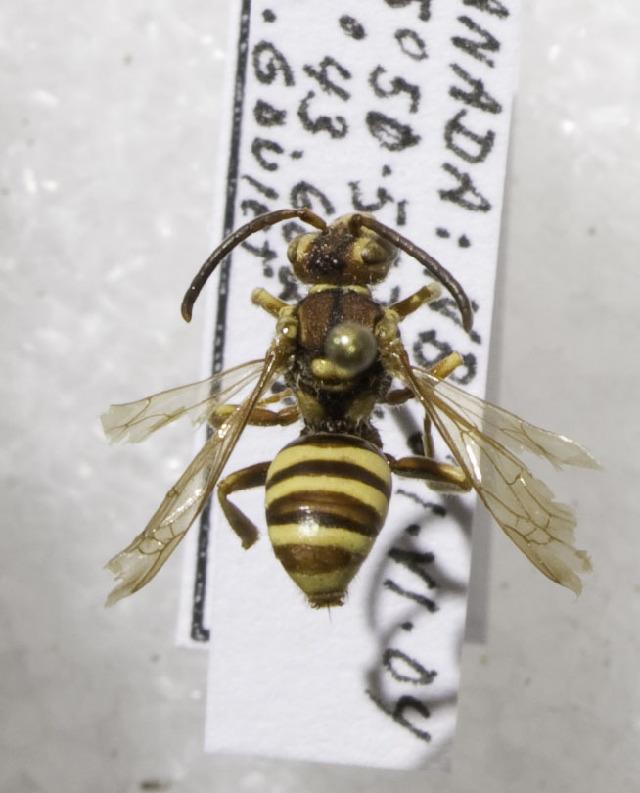 Image of <i>Nomada luteoloides</i> Robertson 1895
