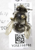 Image of <i>Anthophora terminalis</i> Cresson 1869