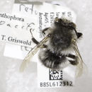 Image of <i>Anthophora pacifica</i> Cresson 1878