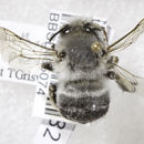 Image of <i>Anthophora porterae</i> Cockerell 1900