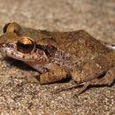 Image of Johnstone's Whistling Frog