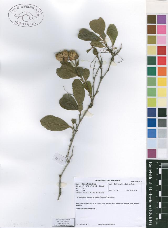Image of Tetracera