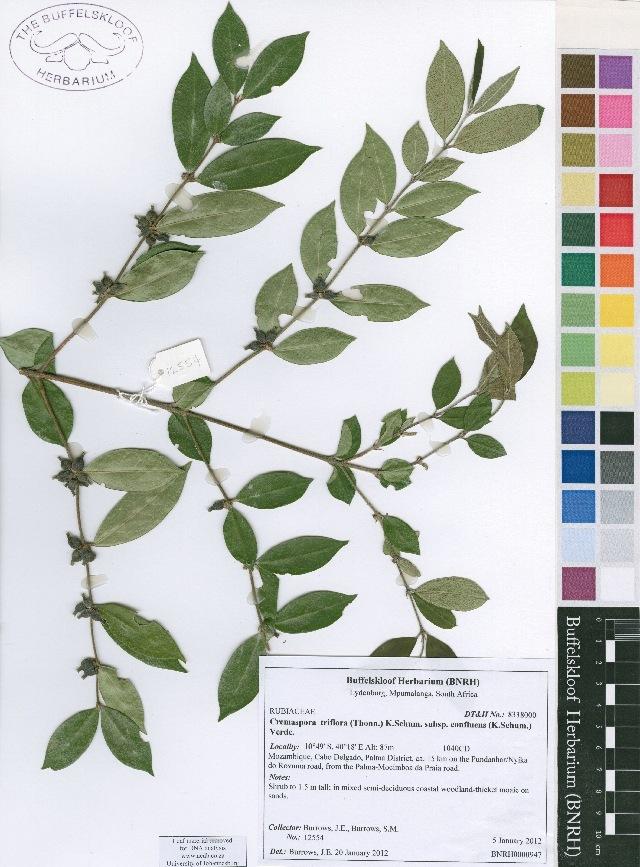 Image of Cremaspora