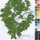 Image of Scorodophloeus