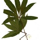 Image of Lowveld chestnut