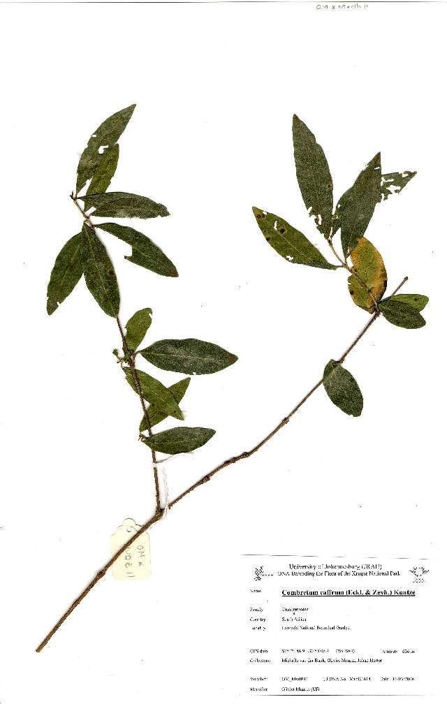 Image of <i>Combretum caffrum</i> (Eckl. & Zeyh.) Kuntze